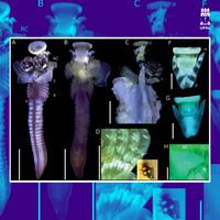 Curadora do MHN é homenageada com nova espécie de animal marinho