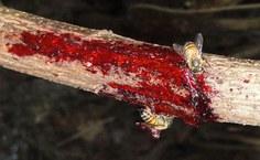 Abelha retirando a  resina vermelha da planta