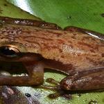 Pesquisa mostra espécies de anfíbios e répteis que estão ameaçados em Alagoas